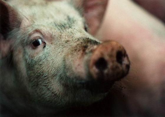 pig on swedish farm